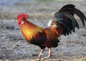 giải mã giấc mơ về gà