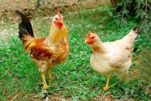 Mơ thấy gà đánh lô bao nhiêu trúng chắc