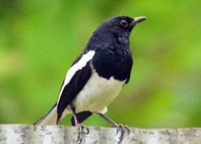 Chim bay vào nhà có điềm báo gì?