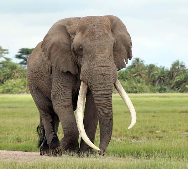 Nằm mơ thấy con voi mang đến điềm báo gì
