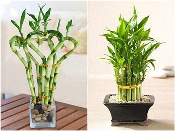 Tuổi Ất Sửu hợp cây gì nên trồng trúc phát tài