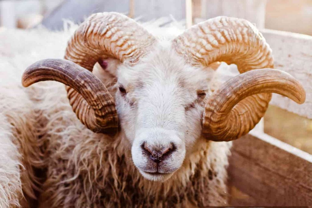 Mơ thấy con cừu số mấy điềm báo gì?
